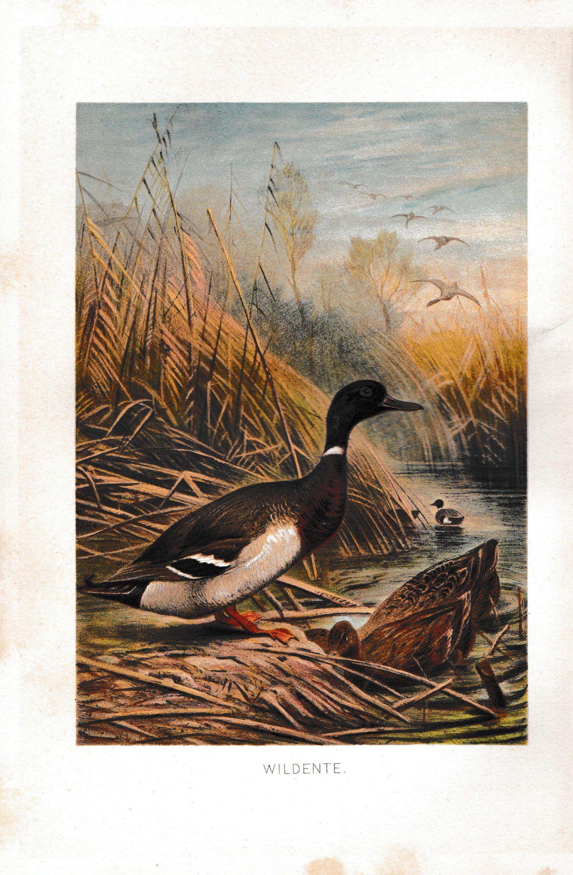 1892 wildente tierleben brehm vintage wild duck print