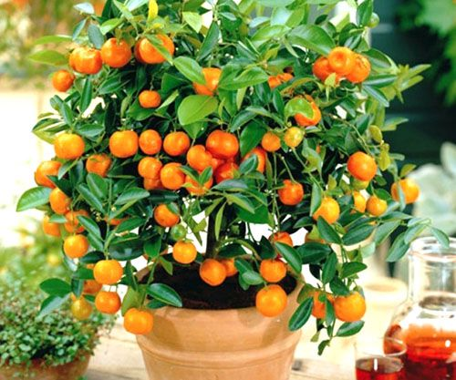orangetree howtogrow grow plants athome sunlight citructree tangerine orange lemon