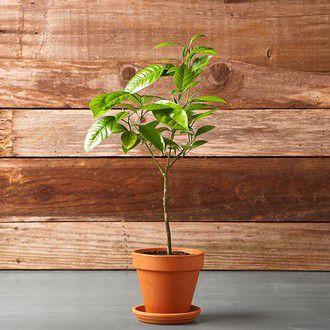 tangerine orange citructree sunlight plants grow athome howtogrow orangetree lemon