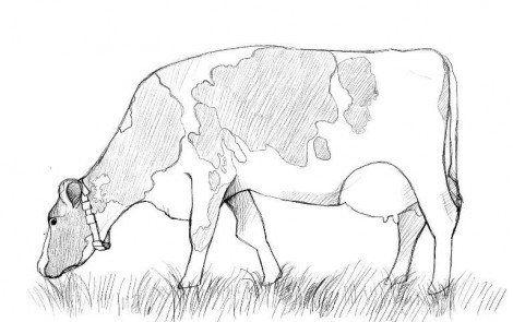 cow steps art draw pencil