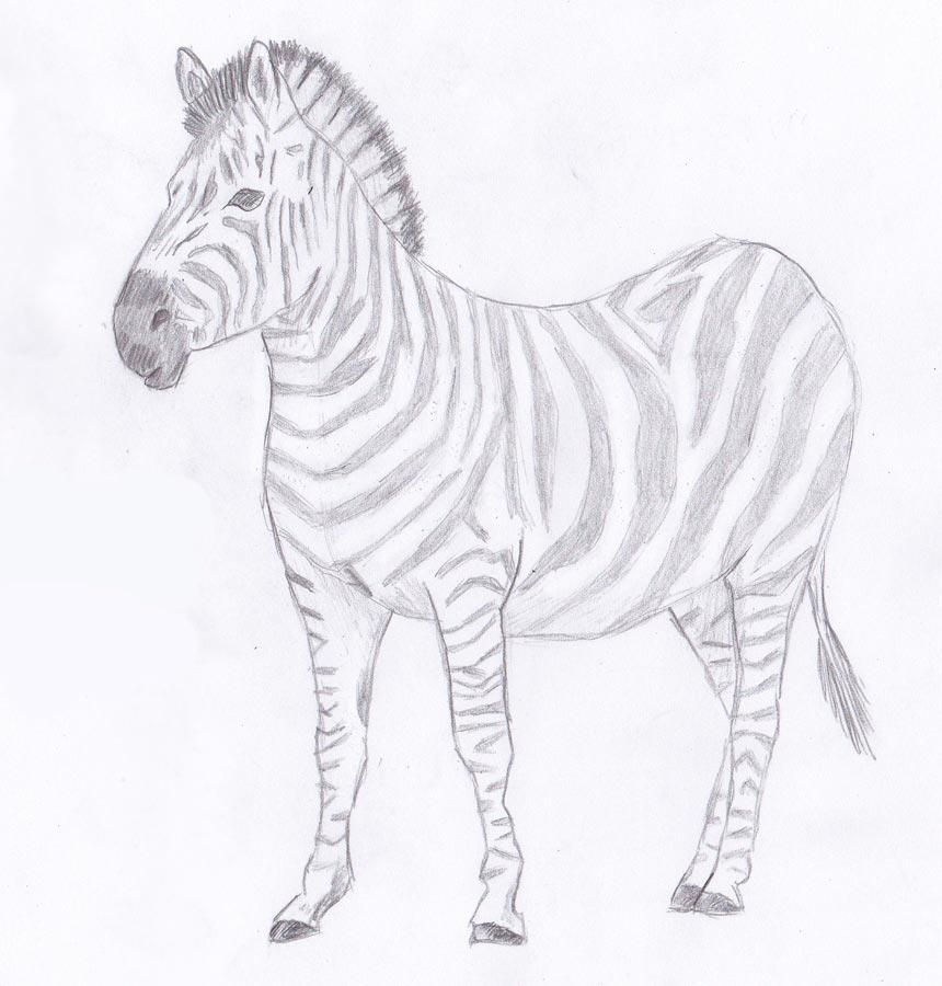 zebra gradually picture pencil draw