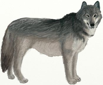 wolf art draw color pencil