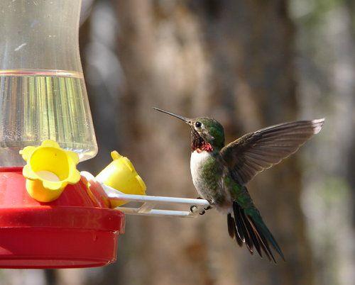 birds unusual nectar hummingbird make