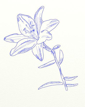 color lily draw flower art