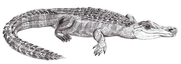 dangerous alligator animal draw pencil art