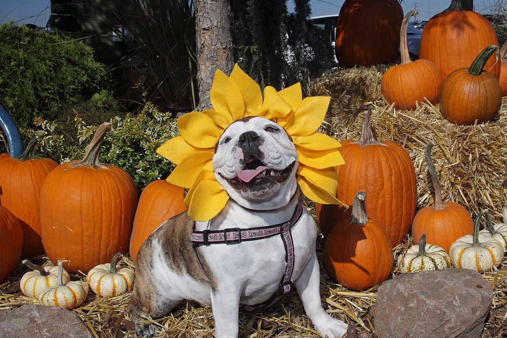 Top 10 homemade dog costume ideas halloween solutioingenieria Image collections