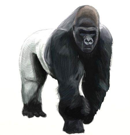 contour art draw color gorilla