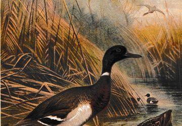 Antique 1892 Brehm Wild Duck Wildente Print Brehm's Tierleben Chromolithograph