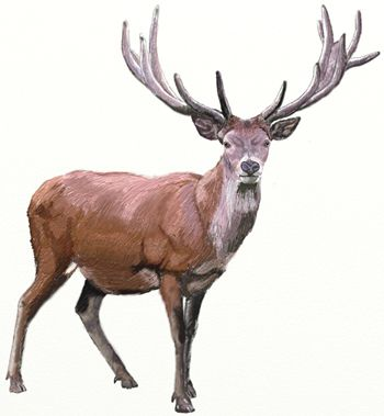 deer art draw color pencil